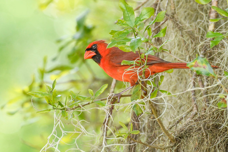 NorthernCardinal-LYE-3-9-19-SJS-004