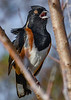EasternTowhee-PineMeadows-1-12-20-SJS-004