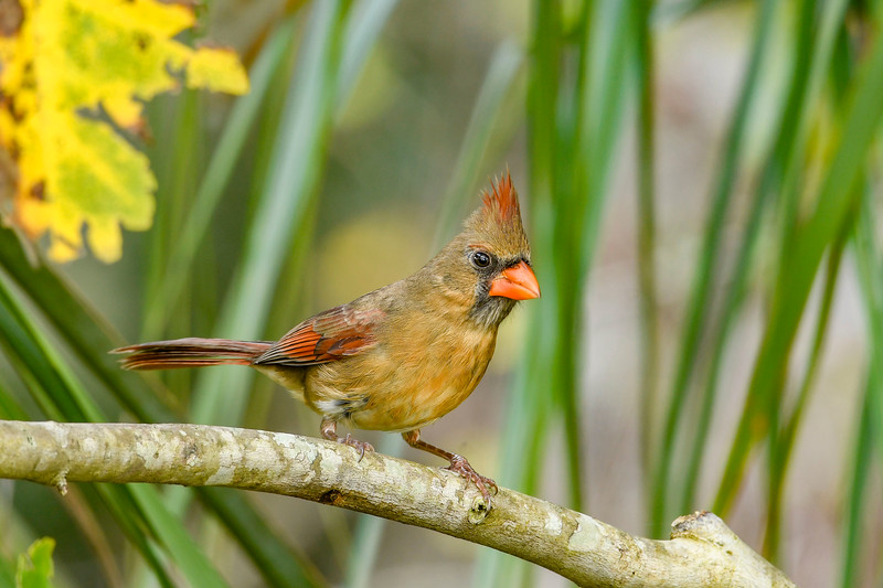 NorthernCardinal(female)-PineMeadows-12-30-19-SJS-003
