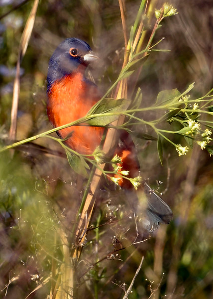 PaintedBunting(male)-LAWD-11-9-18-SJS-002