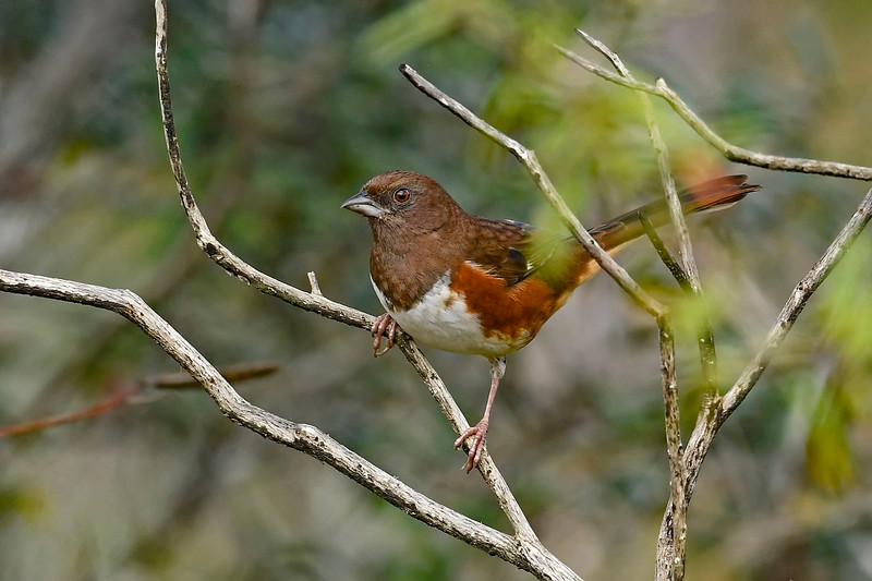 EasternTowhee(female)-OcalaNF-12-12-19-SJS-003