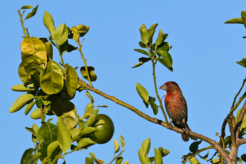 HouseFinch-TucsonAZ-7-1-18-SJS-001
