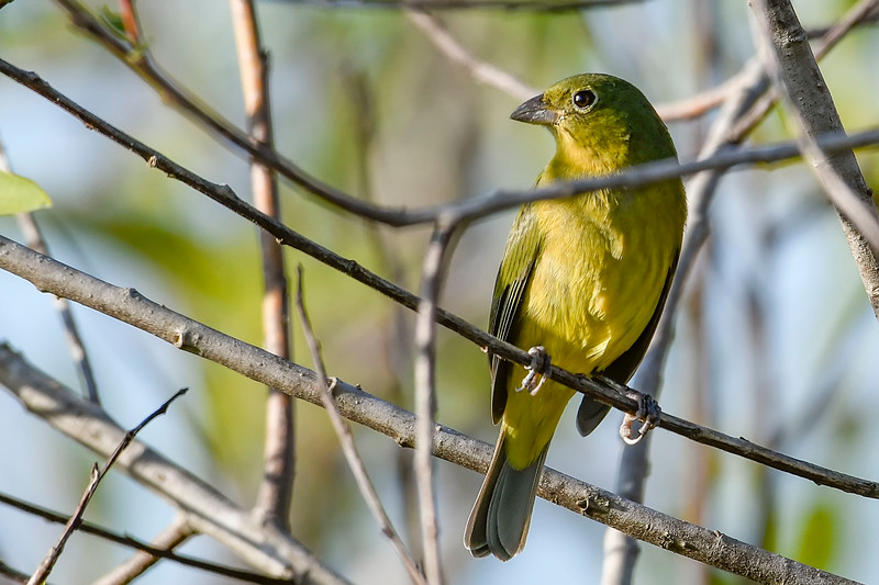 PaintedBunting(female)-EmeraldaMarshFL-11-17-18-SJS-007