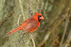 NorthernCardinal(male)-LakeYale-4-13-20-SJS-002