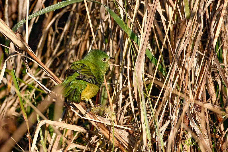 PaintedBunting(female)-LAWD-2-5-19-SJS-009