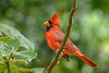 NorthernCardinal-BourlayNatureParkFL-10-15-19-SJS-001