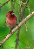 HouseFinch(male)506-01