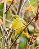 PaintedBunting(female)-PineMeadowsCA-12-24-19-SJS-002