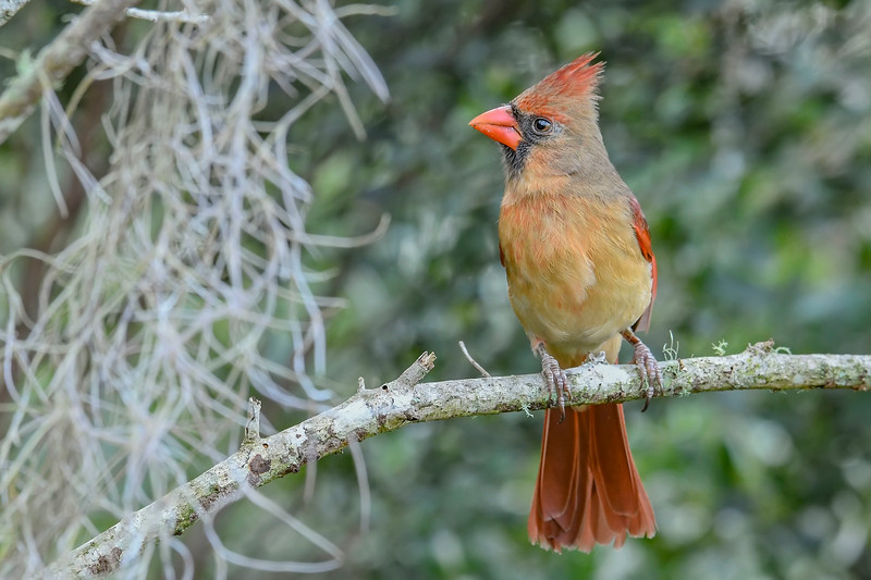 NorthernCardinal-PineMeadows-11-14-19-SJS-005