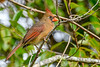 NorthernCardinal(female)-EmeraldaMarsh 10-22-19-SJS-003