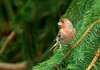 HouseFinch(Male)-sjs-01