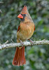 NorthernCardinal-PineMeadows-11-14-19-SJS-004