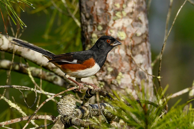 EasternTowhee(male)-OcalaNationalForest-11-7-19-SJS-001