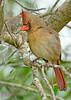 Cardinal-Female-OrlandoWetlandsFL-3-6-17-SJS-004