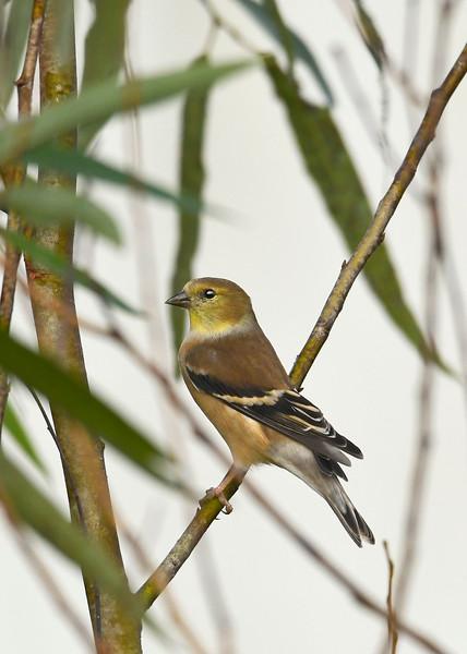 Goldfinch-LAWD-1-4-19-SJS-001