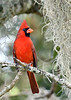 NorthernCardinal-LakeYaleFL-10-18-18-SJS-007