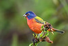PaintedBunting(male)-EmeraldaMarsh-10-9-19-SJS-003