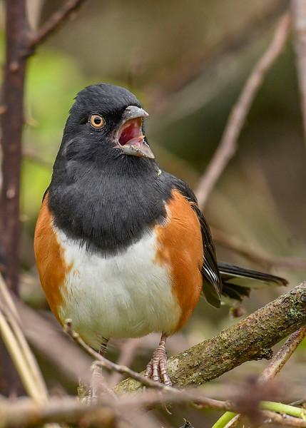 EasternTowhee(male)-PineMeadowsCA-12-24-19-SJS-002