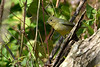 PaintedBunting(female)-LAWD-1-25-19-SJS-001