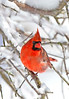 NorthernCardinal-male-2015-sjs-01