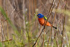 PaintedBunting(male)-LAWD-3-1-20-SJS-002