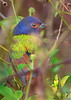 PaintedBunting(male)-PineMeadowsCA-12-13-20-sjs-001