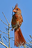 NorthernCardinal-OcalaNF-8-4-20-sjs-004