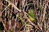 PaintedBunting(female)-LAWD-2-5-19-SJS-017