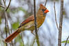 NorthernCardinal(female)-EmeraldaMarsh 10-25-19-SJS-002