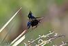 Phainopela(male)-2015-004