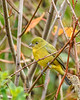 PaintedBunting(female)-PineMeadowsCA-12-24-19-SJS-001