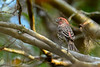HouseFinch-HamptonVA-10-2-19-SJS-001