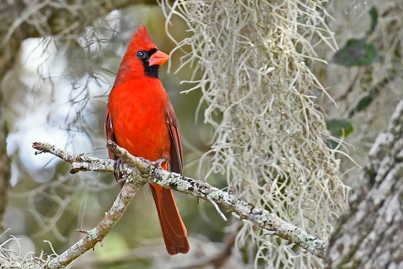 NorthernCardinal-LakeYaleFL-10-18-18-SJS-008