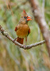 NorthernCardinal(female)-EmeraldaMarsh-4-14-20-SJS-001