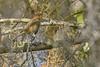 IndigoBunting(immaturemale)-EmeraldaMarsh-11-27-19-SJS-002
