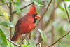 NorthernCardinal(male)-PineMeadowsCA-12-13-20-sjs-002