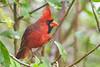 NorthernCardinal(male)-PineMeadowsCA-12-13-20-sjs-002