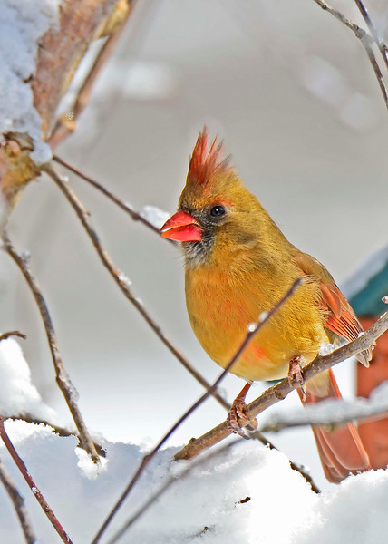 NorthernCardinal-female-2015-sjs-01