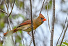 NorthernCardinal(female)-EmeraldaMarsh 10-25-19-SJS-001