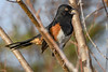EasternTowhee-PineMeadows-1-12-20-SJS-003