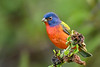 PaintedBunting(male)-EmeraldaMarsh-10-9-19-SJS-002
