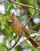 NorthernCardinal(female)-EmeraldaMarsh 10-22-19-SJS-002