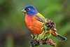 PaintedBunting(male)-EmeraldaMarsh-10-9-19-SJS-004
