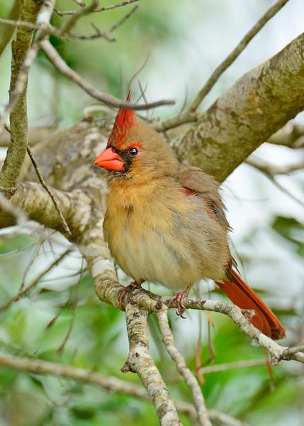 Cardinal-Female-OrlandoWetlandsFL-3-6-17-SJS-003
