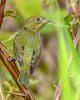 PaintedBunting(female)-EmeraldaMarsh-11-5-19-SJS-004