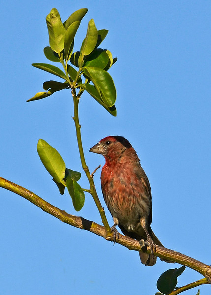 HouseFinch-TucsonAZ-7-1-18-SJS-002