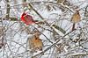 NorthernCardinals-2015-sjs-02