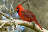 NorthernCardinal-EmeraldaMarsh-10-10-19-SJS-001