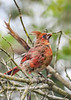 NorthernCardinal-OcalaNF-7-23-20-sjs-005