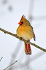 NorthernCardinal-female-2015-sjs-04